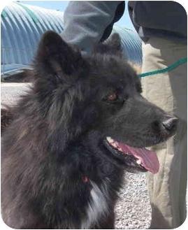 Border Collie Mix Dog for adoption in Las Vegas, Nevada - Benny