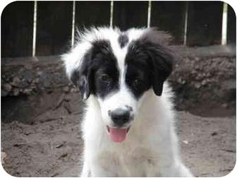 Newfoundland/Great Pyrenees Mix Puppy for adoption in Brooksville, Florida - Gretta