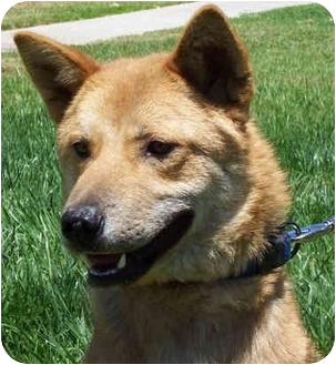Jindo/Shiba Inu Mix Dog for adoption in Marysville, California - Haru