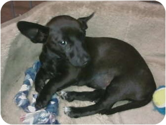 Chihuahua Mix Puppy for adoption in Simi Valley, California - Lydia