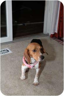Beagle/Basset Hound Mix Dog for adoption in Troy, Michigan - Autumn