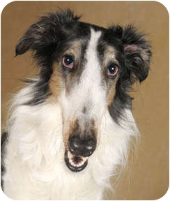 Borzoi Dog for adoption in Chicago, Illinois - Konstantin