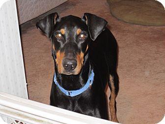 Doberman Pinscher Dog for adoption in killeen, Texas - Shadow