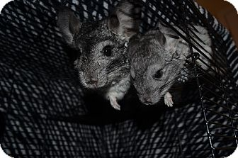 Chinchilla for adoption in Patchogue, New York - Nova