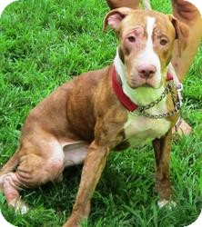 Hound (Unknown Type)/Labrador Retriever Mix Dog for adoption in Bloomfield, Connecticut - Hunch