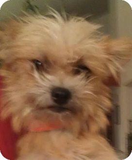 Yorkie, Yorkshire Terrier/Cairn Terrier Mix Dog for adoption in Phoenix, Arizona - Emmy