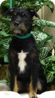 Terrier (Unknown Type, Small) Mix Dog for adoption in Columbus, Nebraska - Licorice