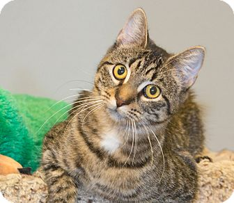 Domestic Shorthair Kitten for adoption in Elmwood Park, New Jersey - Winnie