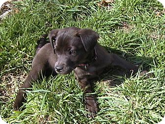 Labrador Retriever/Chihuahua Mix Puppy for adoption in West Warwick, Rhode Island - Apricot