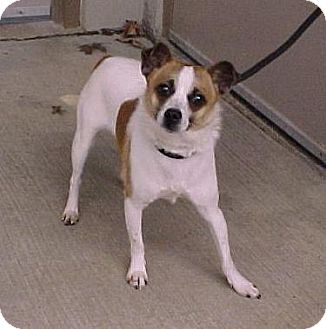 Jack Russell Terrier Mix Dog for adoption in Beacon, New York - Oakley