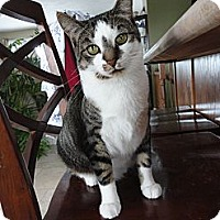 Domestic Shorthair Cat for adoption in Aylmer, Ontario - Autumn