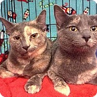 Domestic Shorthair Cat for adoption in Tustin, California - Halley