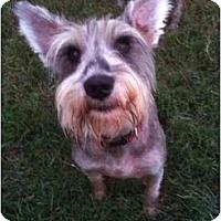 Adopt A Pet :: Scruffy - Arlington, TX