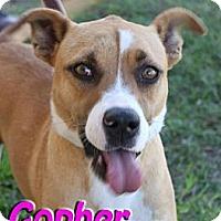 Adopt A Pet :: Gopher - Midland, TX