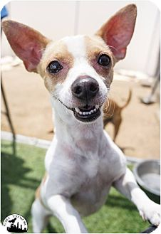 Chihuahua/Jack Russell Terrier Mix Dog for adoption in Phoenix, Arizona - Christina