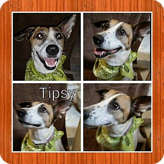 Jack Russell Terrier/Hound (Unknown Type) Mix Dog for adoption in Racine, Wisconsin - Tipsy