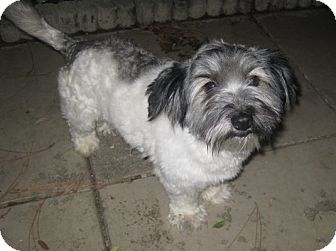 Shih Tzu/Yorkie, Yorkshire Terrier Mix Dog for adoption in Palm Harbor, Florida - Munchkin