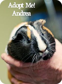 Guinea Pig for adoption in West Des Moines, Iowa - Andrea