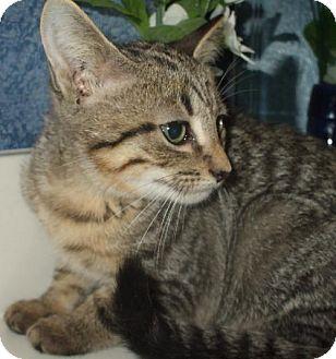Domestic Shorthair Kitten for adoption in Lenexa, Kansas - Toffee