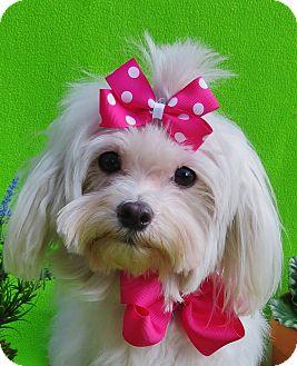 Maltese Dog for adoption in Irvine, California - Harmony