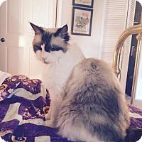 Adopt A Pet :: Dahli - Laguna Woods, CA