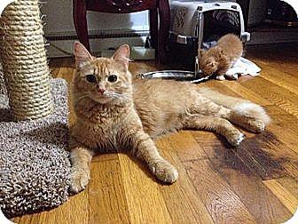 Domestic Longhair Cat for adoption in Kalamazoo, Michigan - Sherbet