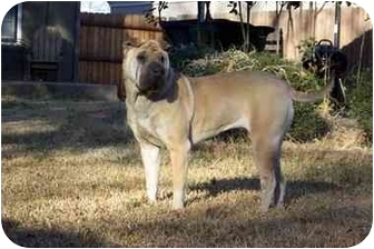 Shar Pei Dog for adoption in Houston, Texas - Jonie