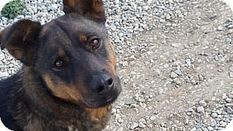 German Shepherd Dog Mix Dog for adoption in Tehachapi, California - Piper