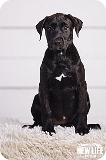 Labrador Retriever/Plott Hound Mix Puppy for adoption in Portland, Oregon - Nikki