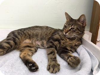 Domestic Shorthair Cat for adoption in Diamond Springs, California - Skoshi