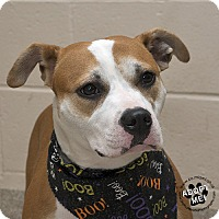 Adopt A Pet :: Ivy - Troy, OH