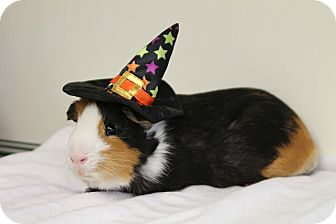 Guinea Pig for adoption in Medfield, Massachusetts - Carmello