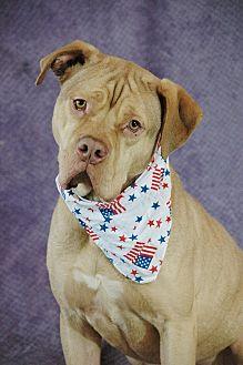 Mastiff Mix Dog for adoption in West Springfield, Massachusetts - Leonidas