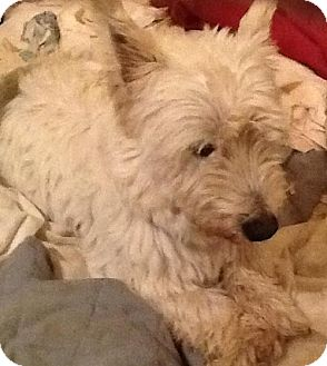 Westie, West Highland White Terrier Dog for adoption in Rye, New Hampshire - Vanetta