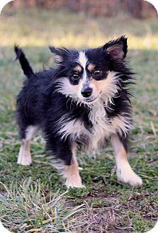 Sheltie, Shetland Sheepdog Mix Puppy for adoption in Waldorf, Maryland - Hayden