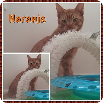 Domestic Shorthair Kitten for adoption in Cedar Springs, Michigan - Naranja