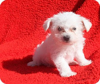 Terrier (Unknown Type, Small) Mix Puppy for adoption in Henderson, Nevada - Ava