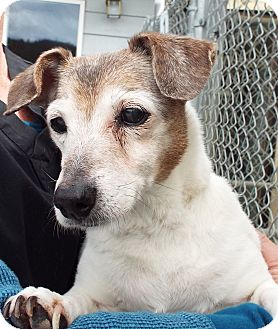 Jack Russell Terrier Mix Dog for adoption in Grants Pass, Oregon - Daisy