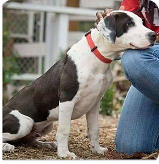 Labrador Retriever/Pit Bull Terrier Mix Dog for adoption in Fallbrook, California - Tux