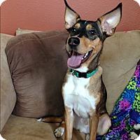 Mixed Breed (Medium)/Chihuahua Mix Dog for adoption in Homewood, Alabama - Abu