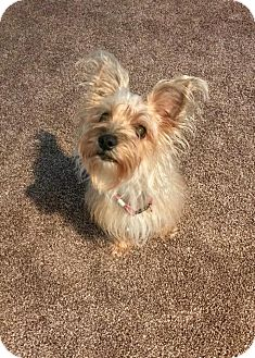 Yorkie, Yorkshire Terrier/Silky Terrier Mix Dog for adoption in Acworth, Georgia - Lady