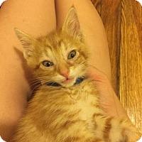 Adopt A Pet :: Ravioli - Baltimore, MD