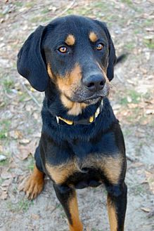 Black and Tan Coonhound Mix Dog for adoption in Camden, South Carolina - Chester