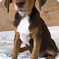 Adopt A Pet :: Eve - East Hartford, CT
