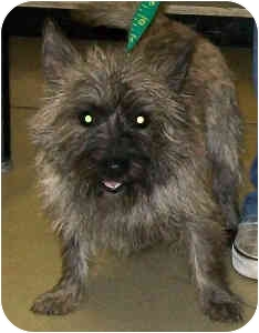 Cairn Terrier Mix Dog for adoption in Murphysboro, Illinois - Jamaica