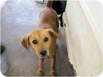 Labrador Retriever Mix Dog for adoption in Mahwah, New Jersey - Melody