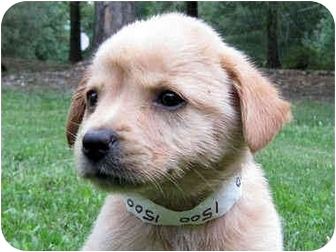 Golden Retriever Mix Puppy for adoption in Mahwah, New Jersey - Tipsy