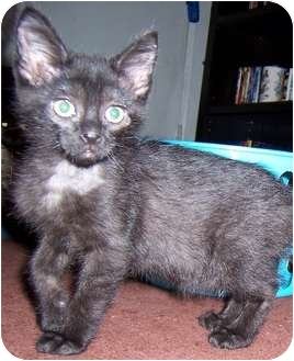 Domestic Shorthair Kitten for adoption in Oklahoma City, Oklahoma - Mercades