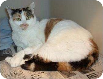 Domestic Shorthair Cat for adoption in Larned, Kansas - Clementine