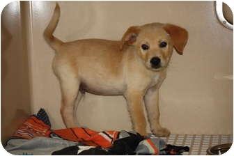 Golden Retriever/Labrador Retriever Mix Puppy for adoption in Prince William County, Virginia - louie